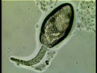 Photo of M. similis